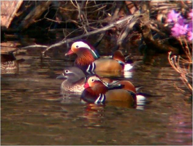 Водоплавающие птицы красной книги